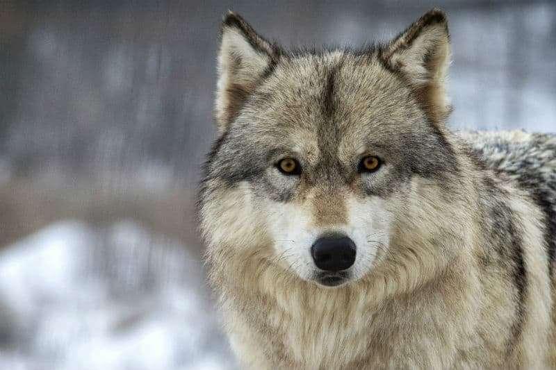 rustic gray wolf