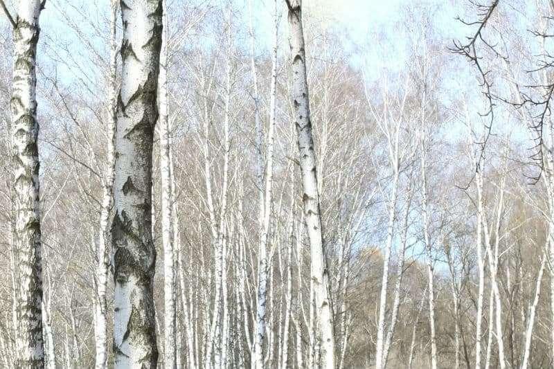 rustic gray trees