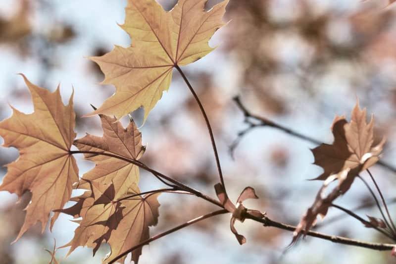 Sierra Brown Leaves